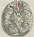 1543,Vesalius'OlfactoryBulbs.jpg