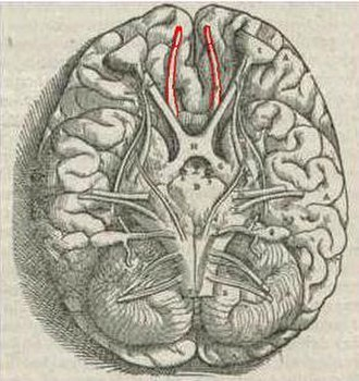 Olfactory system - Vesalius' Fabrica, 1543. Human Olfactory bulbs and Olfactory tracts outlined in red