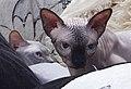 1 adult cat Sphynx. img 019.jpg