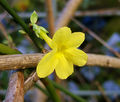 2006-11-16Jasminum nudiflorum06-02.jpg