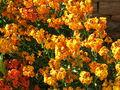 200605 - Erysimum - giroflées wallflowers.JPG