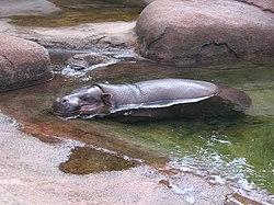 2006 09 09 Hipopotam ubt.jpeg