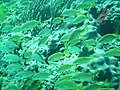 2009-01 Isla Mujeres - Parque Nacional Garrafón - Banco de peces - panoramio.jpg