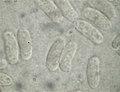 2011-01-18 Duportella maleconii subsp. americana 131594.jpg