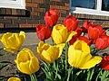 2011 Tulips 5 (5767305810).jpg