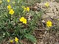 20120624Helianthemum nummularium.jpg
