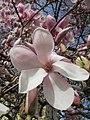 20130417Magnolia × soulangeana5.jpg