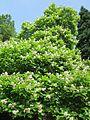 20130718Trompetenbaum Saarbruecken05.jpg