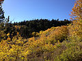 2014-10-04 16 34 47 View of Aspens during autumn leaf coloration, Subalpine Firs and Whitebark Pines from Charleston-Jarbidge Road (Elko County Route 748) in Bear Creek Valley about 15.4 miles north of Charleston, Nevada.JPG