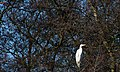 20140202 028 Kessel Weerdbeemden Grote Zilverreiger (12273933075).jpg