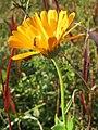 20141003Calendula officinalis2.jpg