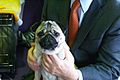 2014 Westminster Kennel Club Dog Show (12451796053).jpg