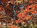 2015-11-15 14 45 22 Scarlet Oak foliage in autumn along Interstate 95 in Hopewell Township, Mercer County, New Jersey.jpg