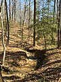 2016-03-01 12 49 42 American Holly along an unnamed tributary of Little Difficult Run within Fred Crabtree Park in Reston, Fairfax County, Virginia.jpg