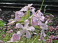 20160717Saponaria officinalis7.jpg