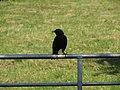 2018-05-24 Blackbird (Turdus merula), Church lane allotment gardens, Beeston Regis.JPG
