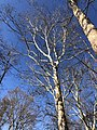 2019-12-19 13 05 11 American Sycamore trees in early winter along a wooded walking path in the Franklin Glen section of Chantilly, Fairfax County, Virginia.jpg