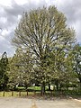 2020-04-10 13 43 56 Pin Oak blooming at Franklin Farm Park in the Franklin Farm section of Oak Hill, Fairfax County, Virginia.jpg