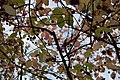 3880 - Euonymus planipes (Flachstieliger Spindelstrauch).JPG