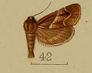 Bostra (moth) - Bostra mesoleucalis