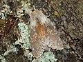 71.009 BF1999 Lobster Moth, Stauropus fagi (3122313827).jpg