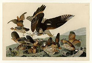 Northern bobwhite - Plate 76 of Birds of America by John James Audubon depicting Virginian Partridge.