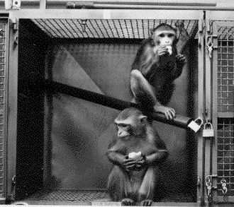 Animal testing on non-human primates - Two primates in a laboratory cage