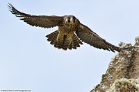 8 of 9 Peregrine Falcon Juvenile Fledgling, Morro Bay, CA 27 May 2008 (2530316148).jpg