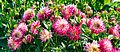 ADD SOME COLOUR TO YOUR LIFE (FLOWERS IN A PUBLIC PARK)-120125 (28652181163).jpg