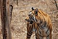 A Bengal tiger, Karnataka, India (464044679).jpg