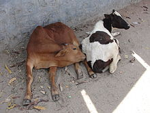 A Calf of Coimbatore.JPG