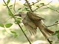 A Chick (20543445272).jpg