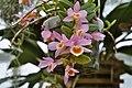 A and B Larsen orchids - Dendrobium loddigesii 991-16.jpg