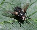 A big bruiser tachinid - Panzeria rudis - Flickr - S. Rae (2).jpg