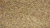 A closeup of Pearl Millet (Cumbu).JPG
