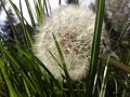 A dandelion in the grass.jpg