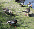A group of waterfowl at Fishers Green, Lee Valley, Waltham Abbey, Essex, England 02.jpg