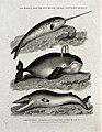 A narwhal, a common whale and a pike-headed whale. Etching b Wellcome V0021600ER.jpg