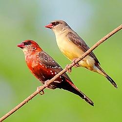 A pair of Red avadavat (Amandava amandava) Photograph by Shantanu Kuveskar.jpg