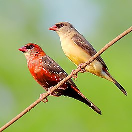 A pair of Red avadavat (Amandava amandava) Photograph by Shantanu Kuveskar.jpg