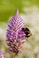 Abeja (Bombus terrestris) en un Ptilotus exaltatus, jardín botánico de Tallin, Estonia, 2012-08-12, DD 01.JPG