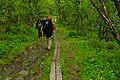 Abisko national park birch forest.jpg
