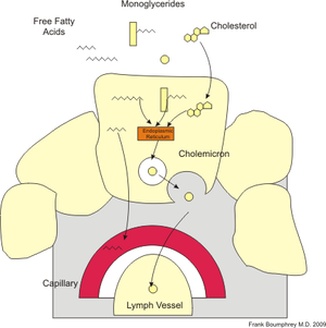 English: diagram of absorption of fats