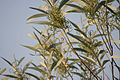 Acacia mangium is it- in Hyderabad W IMG 5556.jpg
