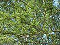 Acacia xanthophloea foliage.JPG