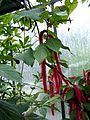 Acalypha hispida 002.jpg