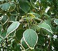 Acalypha wilkesiana1 ies.jpg