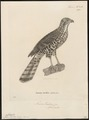 Accipiter tachiro - 1700-1880 - Print - Iconographia Zoologica - Special Collections University of Amsterdam - UBA01 IZ18300097.tif