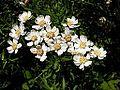 Achillea ptarmica20140713 096.jpg