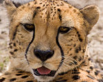 Acinonyx jubatus -Houston Zoo, Texas, USA -head-8a.jpg